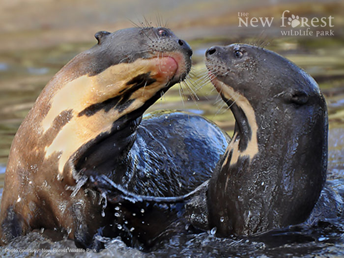 Asian short-clawed otters at play at the New Forest Wildlife Park